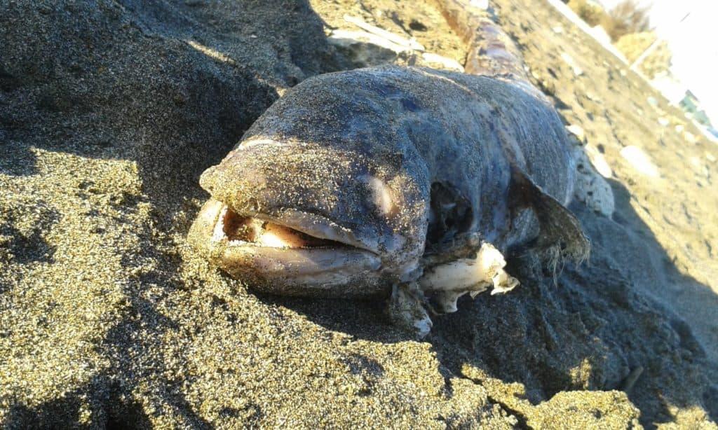Campo di Mare, carcassa di grongo in spiaggia