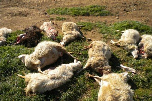 Cerveteri, lupi attaccano gregge di pecore