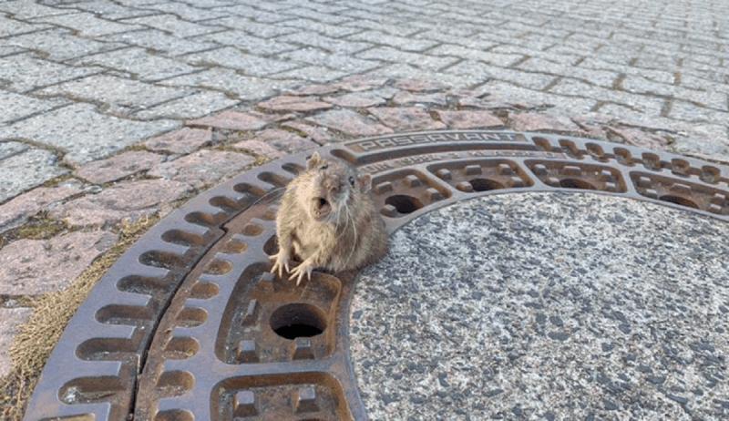 Resta incastrato nel tombino: topo ciccione salvato dai vigili (foto dal web)