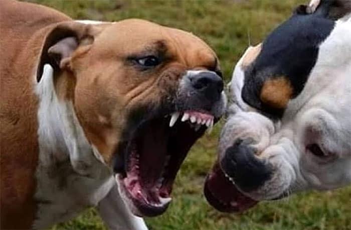 Ladispoli, pitbull scappa dal giardino di casa e aggredisce un meticcio al guinzaglio