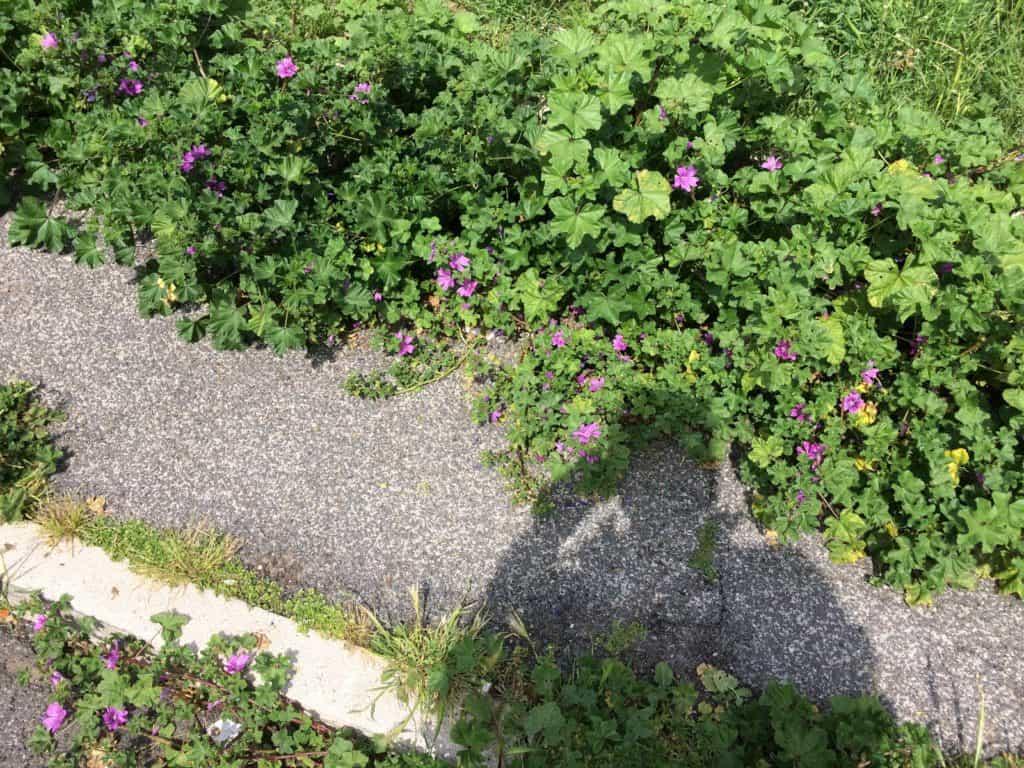 Cerveteri, erba alta sui marciapiedi: l'ira dei cittadini