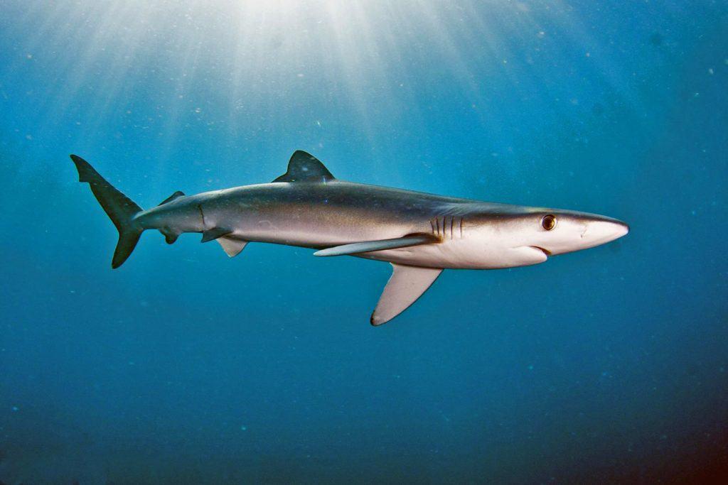 Avvistato uno squalo a ridosso della costa a Passoscuro