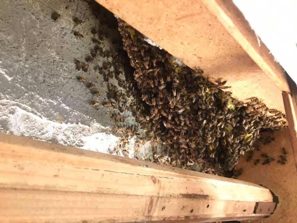 Cerveteri, casa invasa dalle api. Intervento degli agenti del NUBI della protezione civile