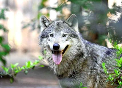 Confagricoltura: allarme lupi a pochi chilometri da Roma