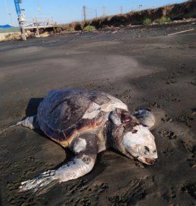 Ladispoli, tartaruga priva di vita rinvenuta in spiaggia