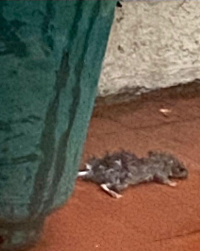 """Colonie di topi a Marina di Cerveteri. I residenti: """"Chiediamo un intervento immediato di derattizzazione"""""""